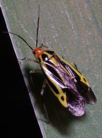 red-headed beetle? - Poecilocapsus lineatus