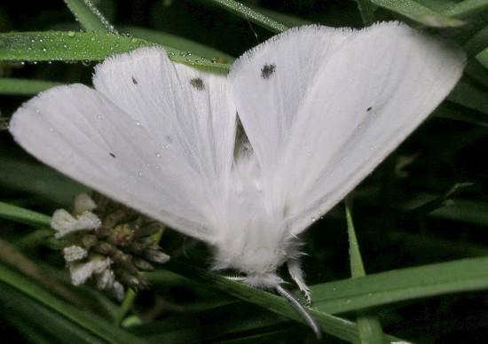 tiger moth - Spilosoma virginica