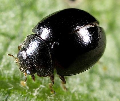 Smallest Ladybird - Zilus horni