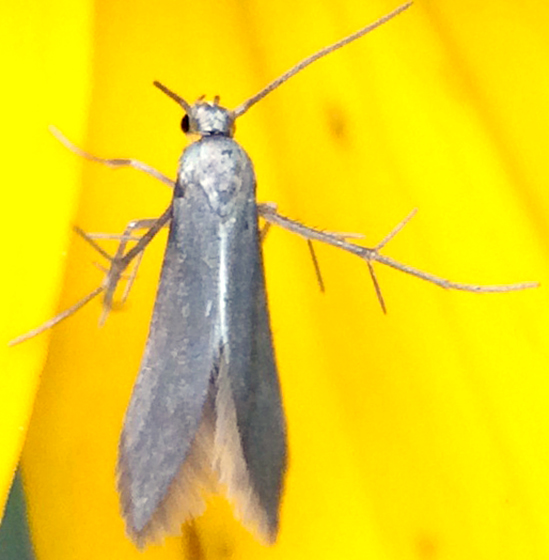 Moth on Rudbeckia flower - Schreckensteinia erythriella