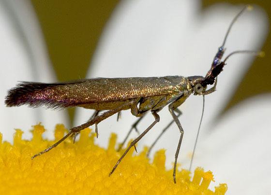 Moth - Coleophora mayrella