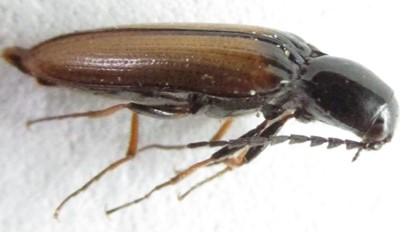 elaterid 1 - Oestodes tenuicollis
