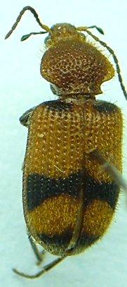 Panagaeus - Panagaeus fasciatus