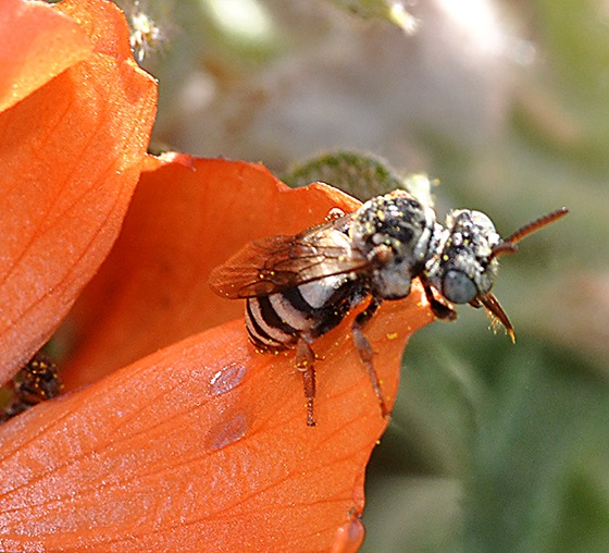 Bee on Copper Mallow - Epeolus americanus