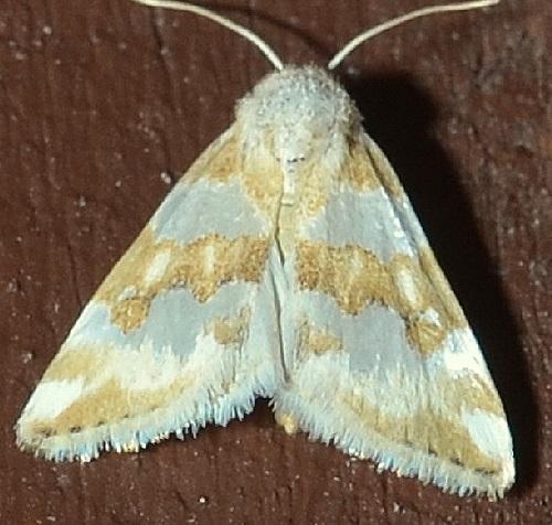 Pyralidae - Schinia alencis