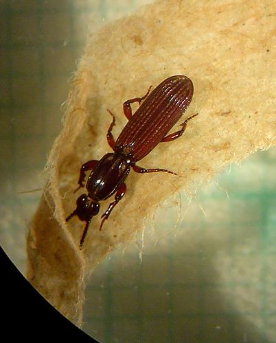 Rhysodidae -Clinidium spp.-Wrinked Bark Beetle - Clinidium - male