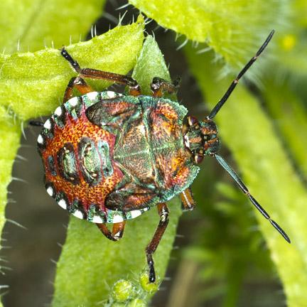 Colorful beetle - Apoecilus