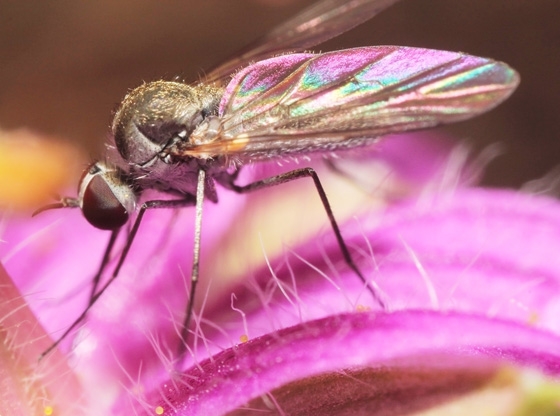 Small Fly - Geron