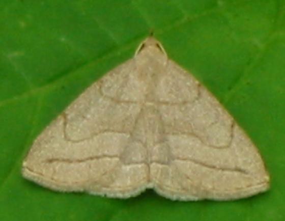 Grayish Zanclognatha - Zanclognatha pedipilalis