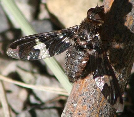 bold bee fly - Exoprosopa dorcadion