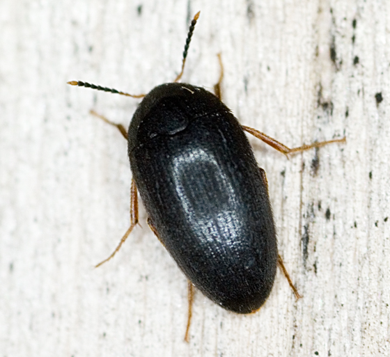 Small beetle - Eustrophopsis bicolor