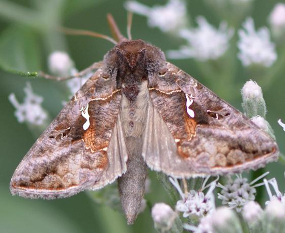 Moth nectaring on late boneset - Autographa precationis