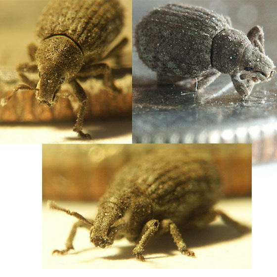 Extremely Small Grayish bug (flea?) - Romualdius scaber