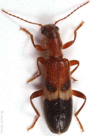 clerid - Cymatodera tricolor