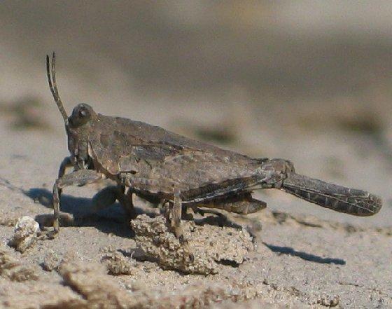 pygmy grassshopper - Paratettix cucullatus - male