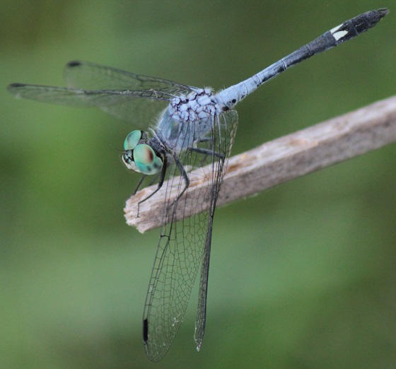 Spot-tailed Dasher - Micrathyria aequalis - male