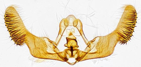 genitalia - Eucopina tocullionana - male