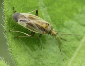 Beetle - Amblytylus nasutus