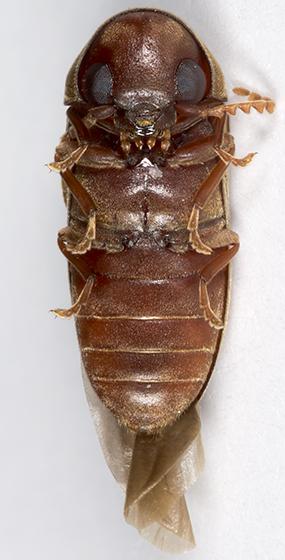 Death-watch Beetle - Euvrilletta peltata