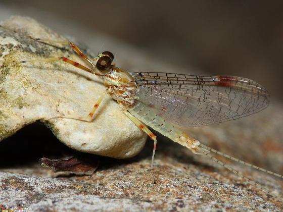 Ephemeroptera - Stenonema femoratum