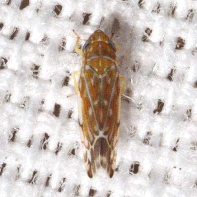 Erythroneura Leafhopper - Erasmoneura vulnerata