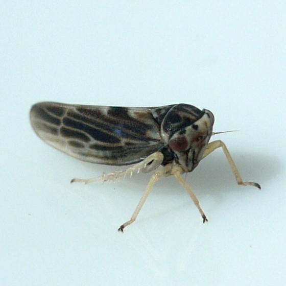 Leafhopper - Agalliopsis novella