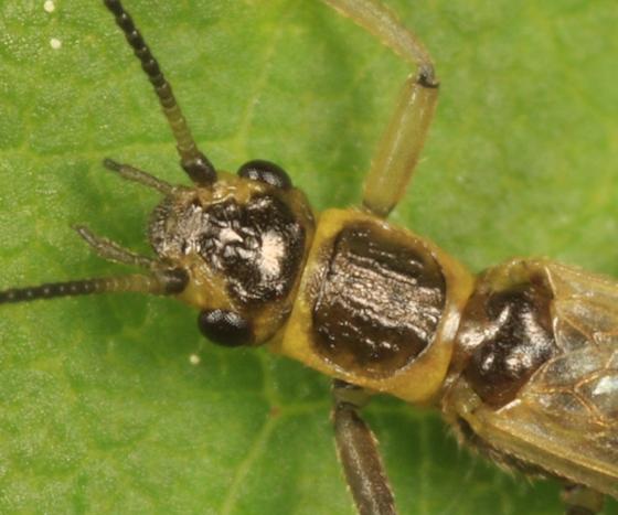 stonefly - Utaperla gaspesiana
