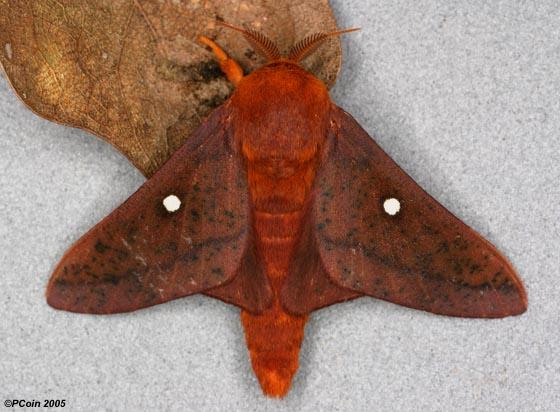 Oakworm Moth - Anisota senatoria - male