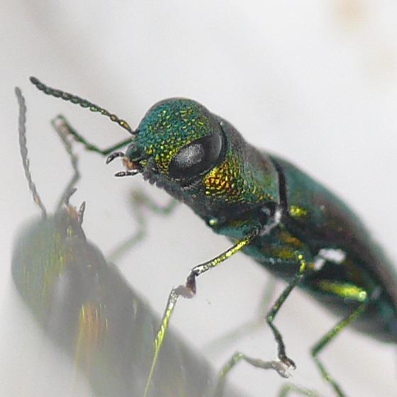 Metallic Wood-boring Beetle - Anthaxia dichroa