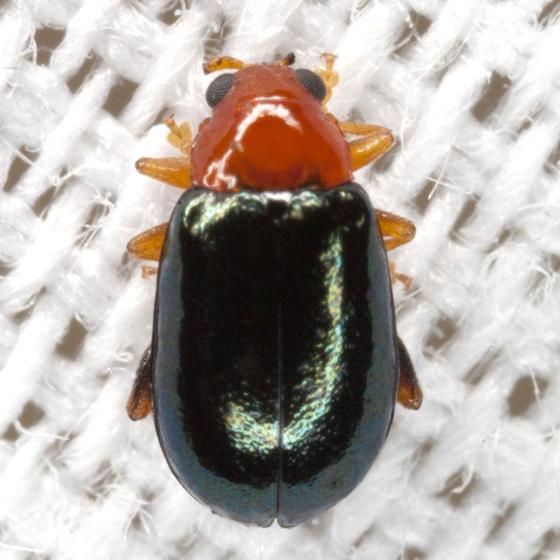 Tiny Beetle - Palaeothona picta