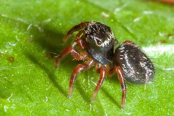 jumping spider sling - Phidippus
