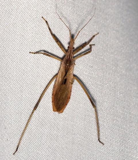 Assassin Bug - Stenopoda spinulosa