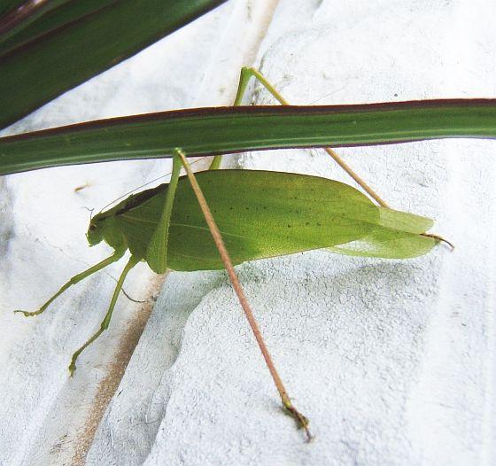 Large Katydid - Amblycorypha oblongifolia - male