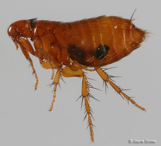 gopher flea