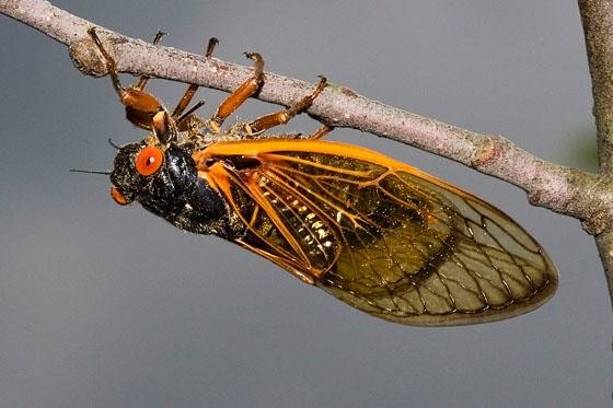 cassini periodical cicadas - photo #13