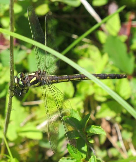 Dragonfly - Cordulegaster diastatops