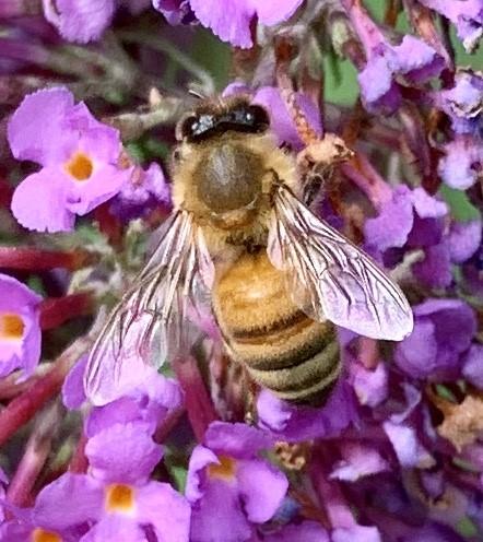 Honey bee? - Apis mellifera - female