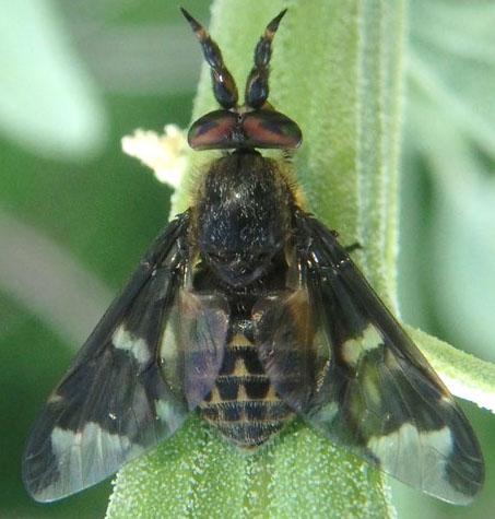 Fly July 21 - male