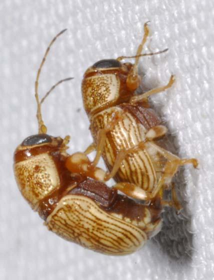 Pachybrachis diversus Fall - Pachybrachis diversus - male - female