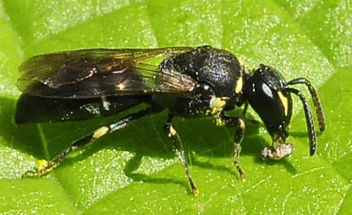 Masked Bees Subgenus Prosopis - Hylaeus