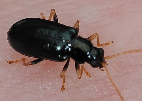 Shiny green-tinted beetle - Scelolyperus