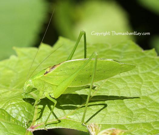 Katydid - Amblycorypha oblongifolia - male