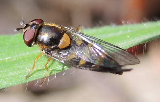 Syrphidae 1
