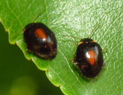 Marsh beetles - Scirtes orbiculatus - male - female