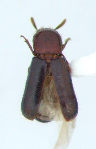 Corticeus - Corticeus thoracicus