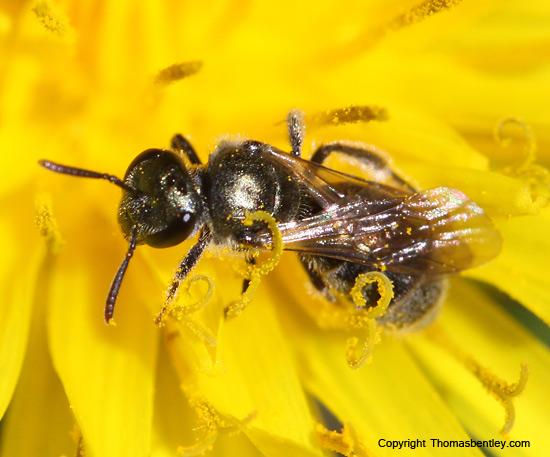 Bee - Lasioglossum - female