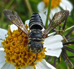 Cuckoo-leaf-cutter Bee - Coelioxys mexicanus