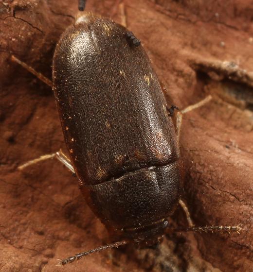 little brown beetle - Litargus grandis