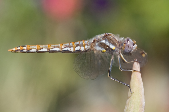 Variegated Meadowhawk - Sympetrum corruptum