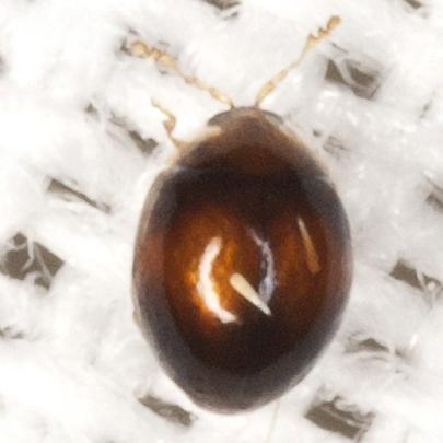 Tiny Beetle - Holopsis